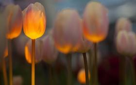 Обои тюльпаны, поле, подсветка, весна