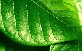 Обои листик, обои, фото, растение, фон, зелень, макро