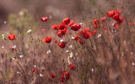 Картинка поле, трава, макро, ветер, маки