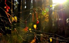 Картинка листья, цвета, солнце, лучи, Лес, ягода, by mike pro