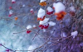 Обои зима, рябина, холод, февраль, снег