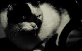 Обои кот, взгляд, кошак, котяра, слюни