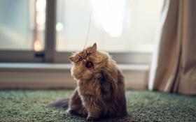 Обои кошка, дом, игра, нитка, Daisy, Ben Torode, Benjamin Torode