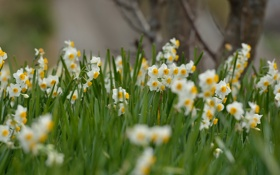 Картинка цветы, весна, полянка, цветение, flowers, нарциссы, spring