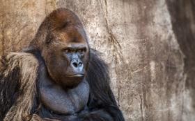 Картинка горилла, зоопарк, New Orleans