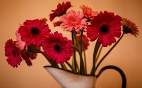 Обои цветы, фон, герберы