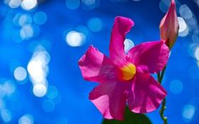 Обои цветок, природа, растение, лепестки