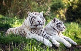 Обои природа, фон, тигры