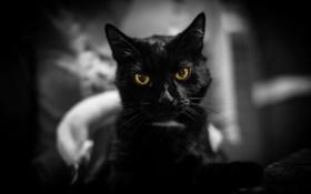 Обои взгляд, фон, кошак, котяра, котэ