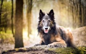 собака,взгляд,друг,лес обои