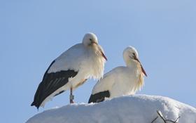 Обои снег, птицы, аисты