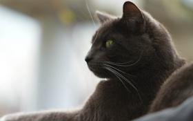 Обои кот, шерсть, мордочка, порода, британец