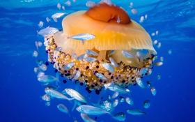 Обои море, рыбы, медуза, Адриатическое море, медуза Живая яичница, медуза Котилориза