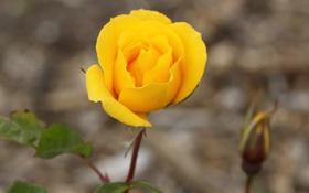 Обои роза, размытость, жёлтая, лепестки, бутон