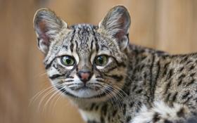 Картинка кот, взгляд, морда, ©Tambako The Jaguar, кошка Жоффруа
