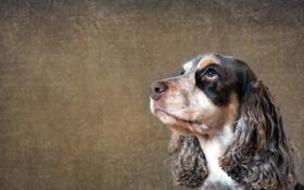 Картинка взгляд, друг, собака, spaniel