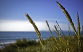 Обои колосья, трава, океан, пшеница, вода, колосок, море