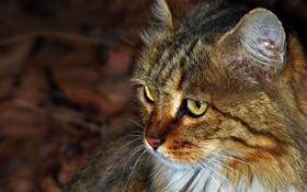 Обои кот, cat, кошка, усы