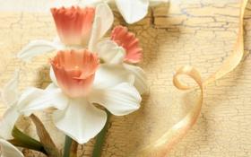 Обои цветы, нежность, лента, нарциссы