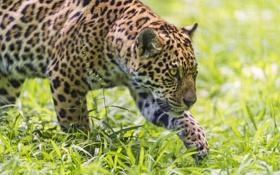 Обои кошка, трава, ягуар, ©Tambako The Jaguar