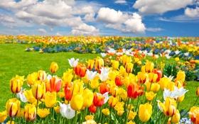 Обои облака, пейзаж, цветы, природа, тюльпаны, grass, травка