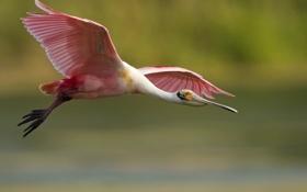 Обои птица, оперение, полет, розовое