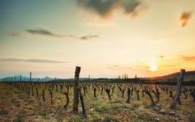 Картинка закат, пейзаж, поле, виноград