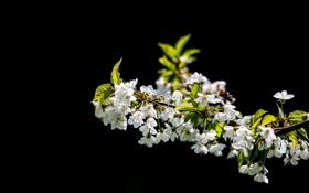 Картинка цветы, вишня, фон, черный, ветка, белые