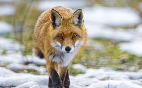 Картинка лиса, ©Tambako The Jaguar, трава, лисица, снег, взгляд