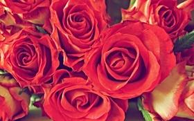 Обои букет, розы, красный