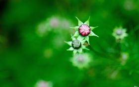 Обои зелень, цветы, природа, фокус, размытость, бутоны, полевые