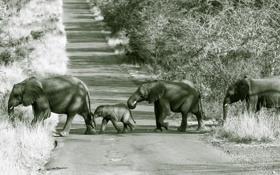 Обои дорога, природа, слоны