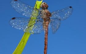Обои небо, крылья, стрекоза, насекомое