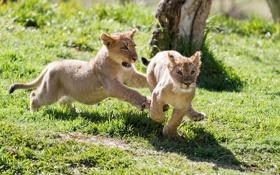 Обои погоня, котята, детеныши, львята, игра, пара
