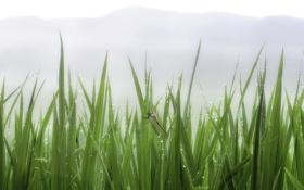Картинка трава, капли, туман, роса, стрекоза