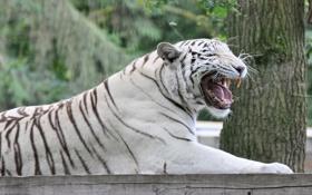 Картинка кошка, тигр, пасть, клыки, белый тигр