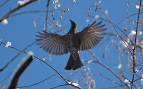 Обои природа, птица, зависание, бюль бюль