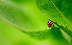 Обои природа, лист, божья коровка, насекомое