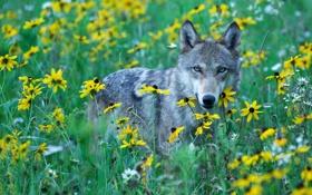 Обои дикий луг, хищник, желтые цветы, взгляд, серый волк