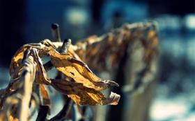 Обои осень, листья, макро, природа, сухие