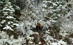 Картинка снег, природа, медведь