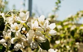 Обои листья, цветы, природа, растения, лепестки, груша, цветки