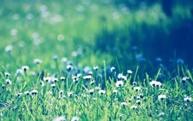 Обои поле, трава, ромашки