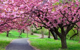 Обои дорога, пейзаж, природа, вишня, путь, цветение, road