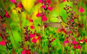 Обои цветы, природа, птица, колибри