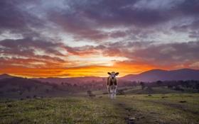 Картинка sky, Sunset, farm, cows, barrington, gloucester