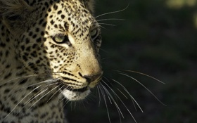 Картинка усы, морда, хищник, леопард, дикая кошка, © Ania Jones