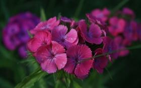 Обои цветы, фиолетовые, гвоздики