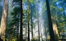 Обои лето, деревья, хвойные