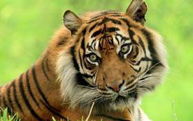 Обои тигр, красавец, взгляд